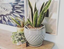 snake plant get rid of bugs insects gnats